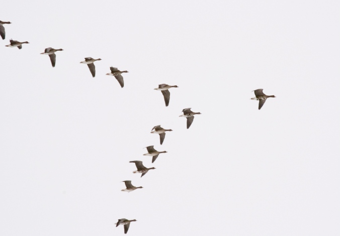 geese-in-flight-1392071-1918x1334