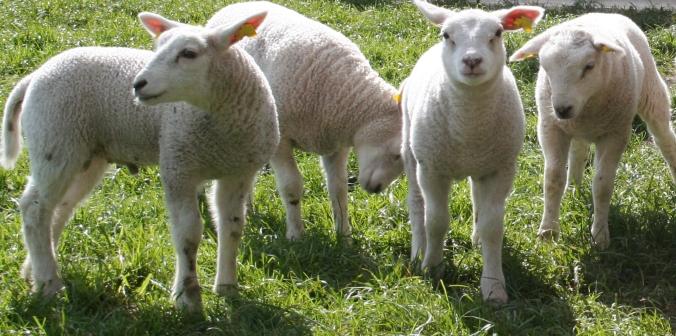 lamb-1374627-1919x953