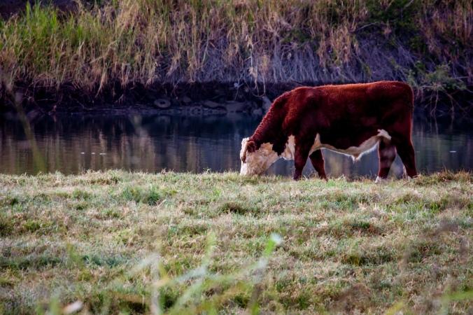 cow-feeding-1615305-1599x1065