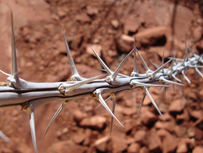 thorns-419688_1280