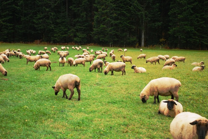sheep-274574_1920
